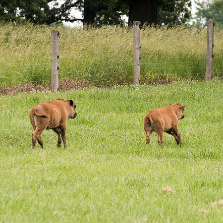 Bison calves at play.